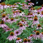 How to Make Echinacea Tincture (it's easy)