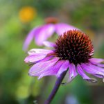How to Boost Your Immune System with Echinacea