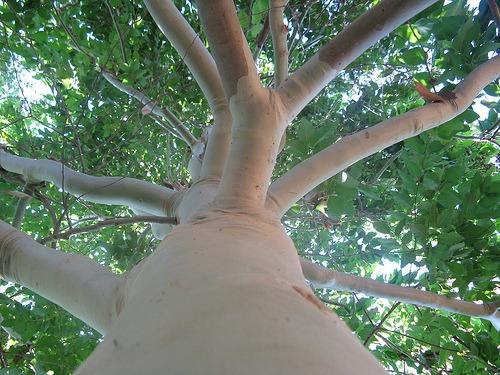 Photo of a eucalyptus tree.