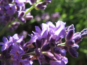 Culinary Uses for Lavender