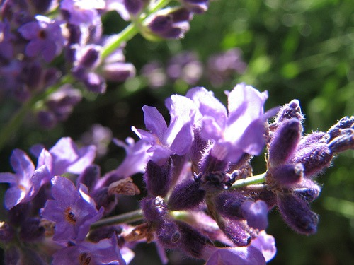 Culinary Uses for Lavender | ADelightfulHome.com