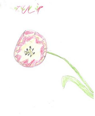 tulip -10yrs