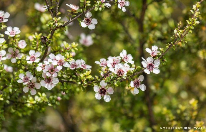 manuka tree in bloom